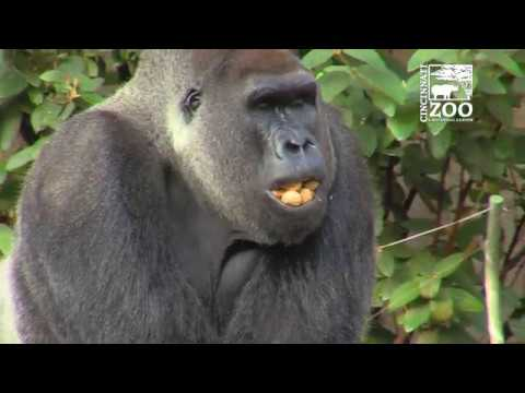 New Indoor Gorilla Habitat Tour - Cincinnati Zoo