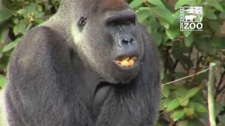 New Indoor Gorilla Habitat Tour - Cincinnati Zoo