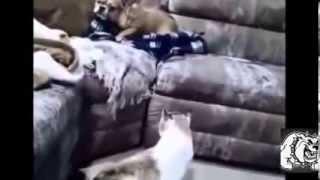Противоречивые отношения Кошек и Собак  Кошки и собаки грызутся
