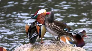 オシドリ (Mandarin Duck)オシドリ観察小屋(鳥取県日野郡日野町根雨)