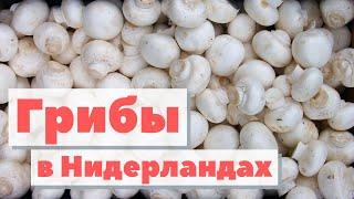 видео: Как выращивают грибы в Голландии | How is harvesting mushrooms in Nederland