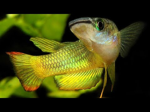 Lone Itty Bitty Golden Wonder Killifish Fry