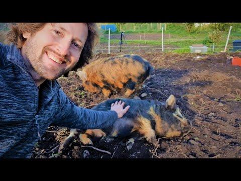 Kunekune Pigs - Everything You Need To Know