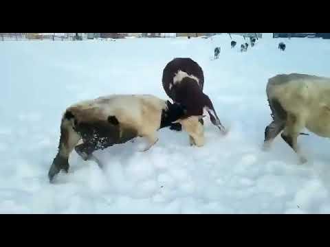 Видеофакт: В Якутии быки устроили разборки на водопое