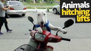 Funny Animals Riding on Things Compilation | Hilarious Animals
