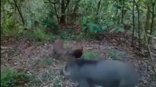 Download Video Pikat ayam hutan po di makan babi MP3 3GP MP4