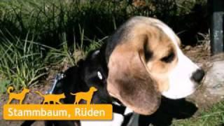 Beagle In Abtswind