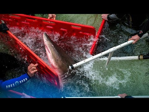 How Do You Move a Shark? It's Complicated  | NYT