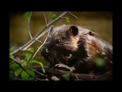 Beaver! Up Close and Personal- Yukon- Charley Scenic Rivers, Interior Alaska