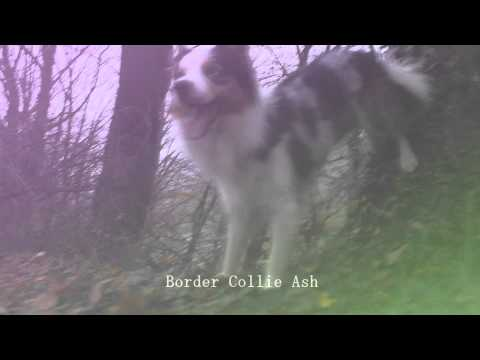 [Dog MEP Blondshell Bomb] Part 2, Border Collie Ash