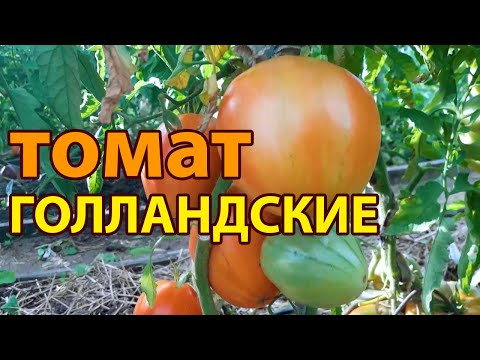 Томат Голландские! Полный видео обзор
