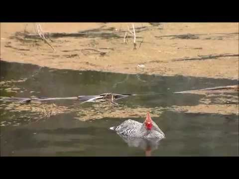 Swimming chicken youtube for Swimming chicken