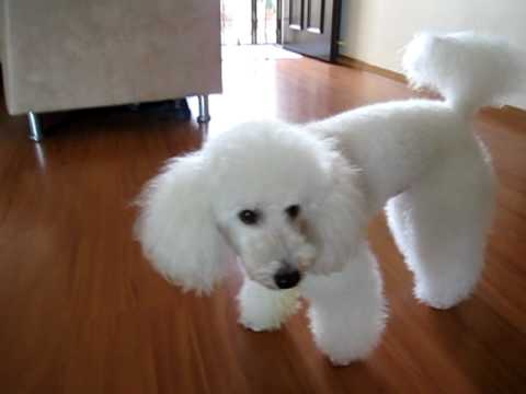 Biscuit the Poodle showing off his tricks