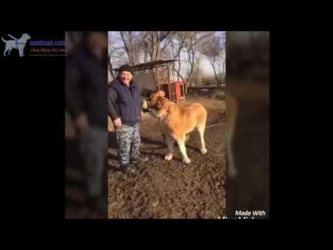 Dòng chó to lớn - Alabai - Sư tử miền Trung Đông