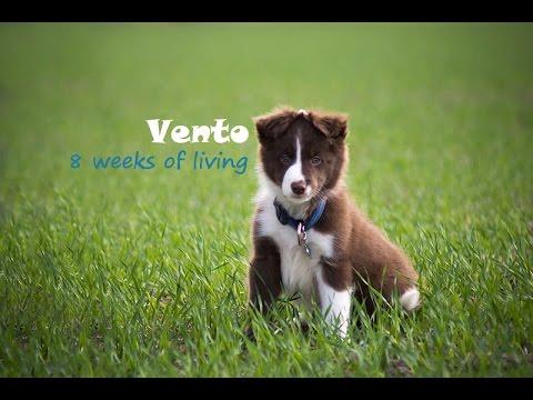 8 weeks border collie puppy Vento