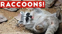 Funniest Raccoon Video Compilation of 2017 | Funny Pet Videos