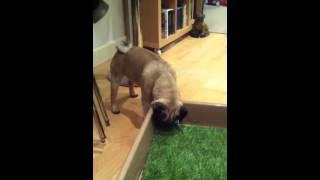 Rupert Eli - Pug puppy won't pick up toy