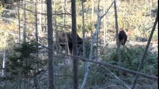 Moose calling-rattling session 2014, NB