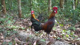 The best pair of wild chickens | Jungle fowl