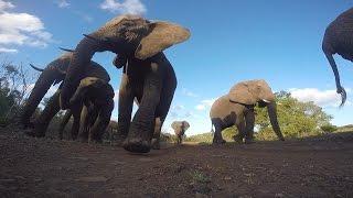 GoPro Awards: African Elephant Bites a GoPro thumbnail