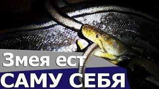 ГРОМАДНЫЙ ПИТОН ЕСТ САМ СЕБЯ. Почему змеи иногда глотают самих себя? / Snake Eating Itself