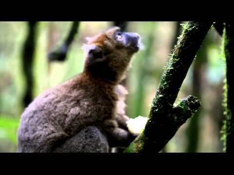 Greater Bamboo Lemur in Madagascar's Ranomafana Rainforest