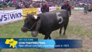 Cow Fighting in the Swiss Alps: Alpine village of Aproz in Switzerland hosts cow fighting finals
