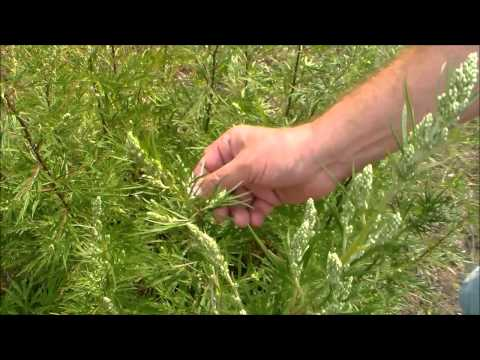Как выглядит полынь трава фото где растет