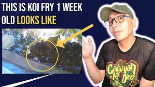 1-week old koi fry Never seen before