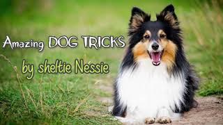 Amazing DOG TRICKS by sheltie Nessie