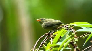 Sepah Puteri Dada Oren - Orange-bellied Flowerpecker (Dicaeum trigonostigma) female