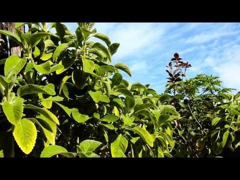 Boldo-da-terra, Coleus barbatus, Plectranthus barbatus, Boldo do Chile, Plantas medicinais,