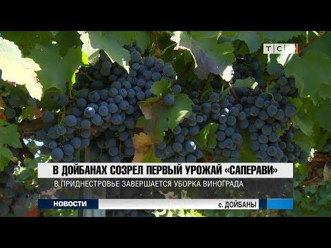 В Дойбанах созрел первый урожай «Саперави»