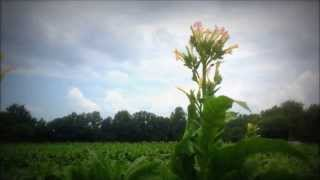What Does a Tobacco Plant Look Like?