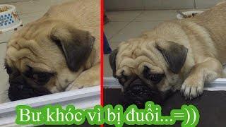 🍿Pug Bư Khóc Vì Bị Đuổi Ra Khỏi Nhà Do Biếng Ăn Chảnh Chó =))⏩ Pugk Vlog