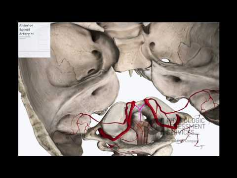 Anterior & Posterior Spinal Arteries: Anatomy for Conventional IONM