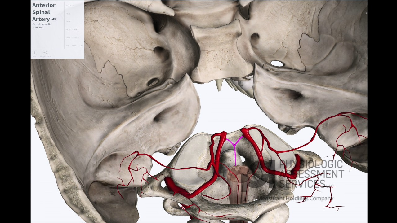Anterior Posterior Spinal Arteries Anatomy For Conventional Ionm