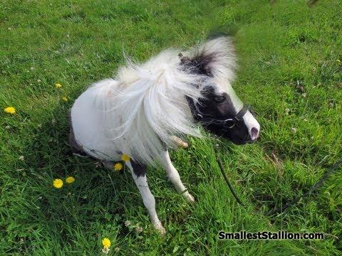 Einstein The Smallest Horse In The World Doovi
