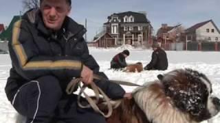 #231 Мир увлечений. Собаки породы сенбернар