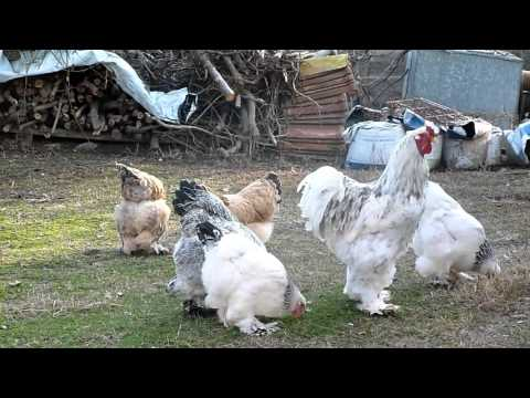 brahma chicken -agrokota greece