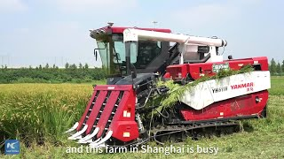 GLOBALink| Unmanned farm in Shanghai embraces first harvest