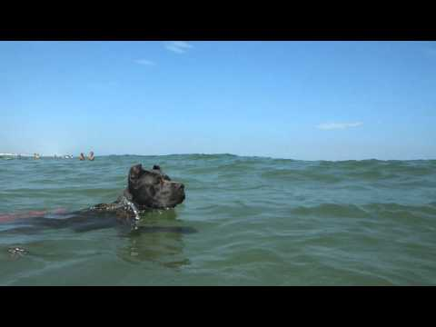 CRAZY CANE CORSO PUPPY ITALIAN MASTIFF DOG SWIMMING IN THE OCEAN