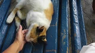 судак трехцветная кошка