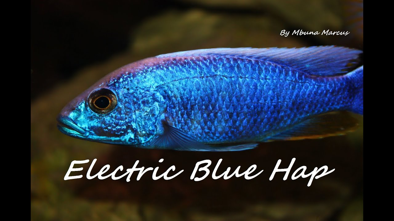 electric blue african cichlid - photo #18