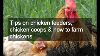What to feed chickens to lay eggs | Tips on saving money on food & what to feed chickens to lay eggs