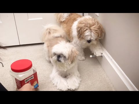 [shih tzu] Tricks and Treats - Playing with the Door Stopper & Balancing Hair Band