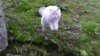 Cat Leaps over stream