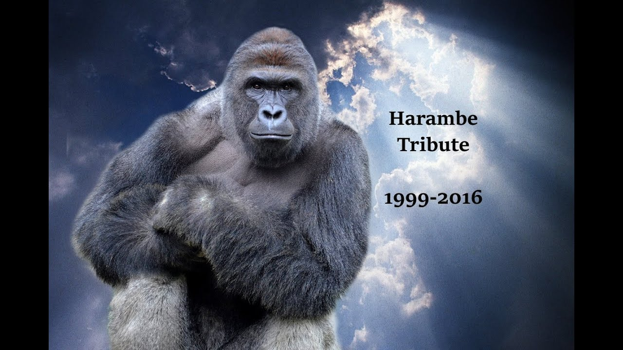 87bac0940 Harambe Tribute Video 1999-2016 [HD] WARNING:WILL MAKE YOU CRY - YouTube
