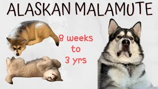 8 weeks to adult  Alaskan Malamute