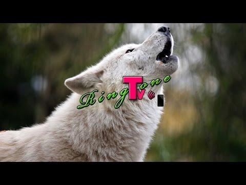 Wolf Sound  Ringte